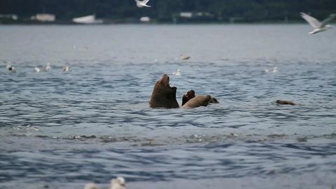 Sealions in salmon run P HD 7448 Footage