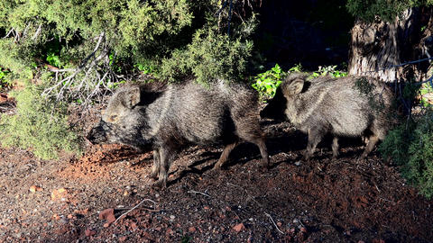 Sedona Arizona Peccary Javelina pig in wild area 4K 024 Footage