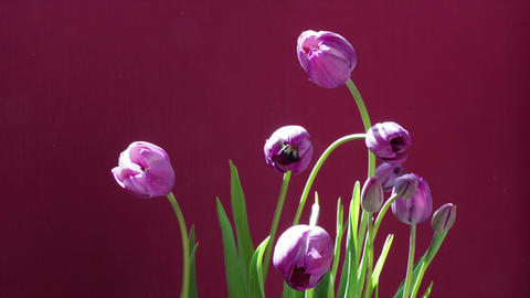 bouquet of purple tulips blooming, opening blossom, spring time lapse, isolated Live Action
