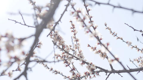 Bees flying around blossom under clear spring sky. Blooming tree with flying Live Action
