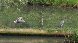 The grey herons. Ardea cinerea. Birds Live Action
