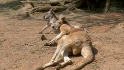 Male and female of the red kangaroo. Macropus rufus Acción en vivo