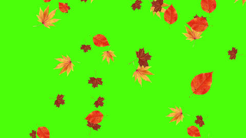 Autumn leaves falling on green screen, chroma key editable background Animation