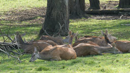 Herd of red deer resting in the forest. Stag and does. Cervus Elaphus Acción en vivo