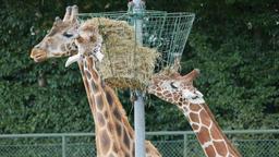 Giraffes feeding time. Giraffa camelopardalis rothschildi Live Action