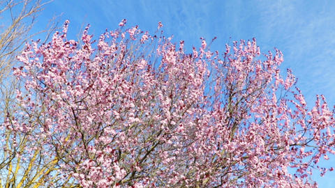 spring tree with pink flowers almond blossom on branch with movement at wind, on blue sky with daily Live Action