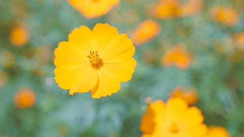 Cosmos sulphureus flowers,at Showa Kinen Park,Tokyo,Japan,Filmed in 4K Footage