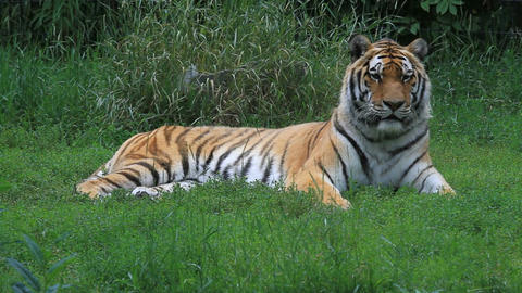 Tiger laying in grass P HD 1585 Footage