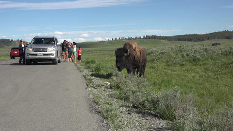 Tourists harassing American Buffalo Bison near road Yellowstone 4K Footage