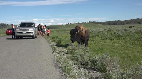 Tourists harassing American Buffalo Bison near road Yellowstone 4K Footage
