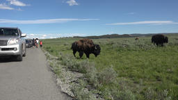 Tourists yelling at American Buffalo Bison Yellowstone 4K 079 Footage