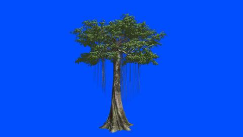 The huge tree Kapok. Blue screen alpha Animation