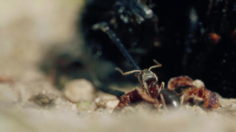 Aggressive attack of ants to bumblebee on the ground in forest Acción en vivo