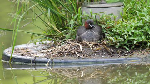 A parent bird of dabchick or little grebe leaves its nest, two baby birds behind in the morning Live Action