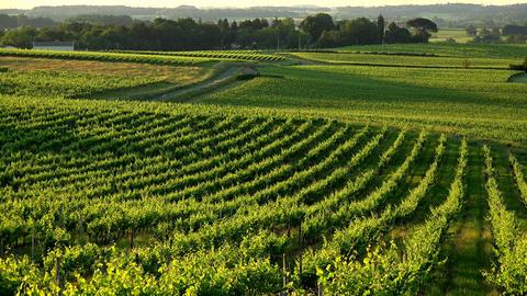 Sunset landscape bordeaux wineyard france, europe Nature Live Action