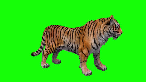 735 4k 3d animated tiger runs stands and roars Animation