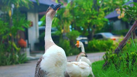 Domestic goose screams and walks Footage