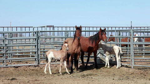Wild Mustang Horse Mares with colts P HD 8859 Footage