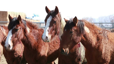 Wild Mustang horses close P HD 8872 Footage