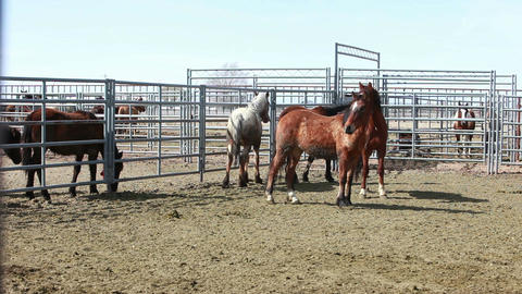 Wild Mustang horses locked in corral P HD 8880 Footage