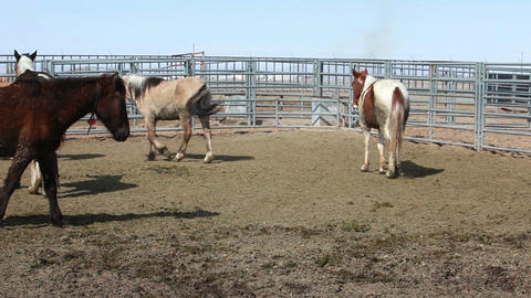 Wild Mustang horses walking corral P HD 8879 Footage