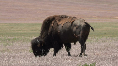 Wildlife American Bison buffalo graze in prairie meadow 4K Footage