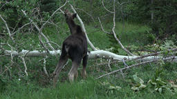Wildlife Moose walks away in mountain forest 4K 029 Footage