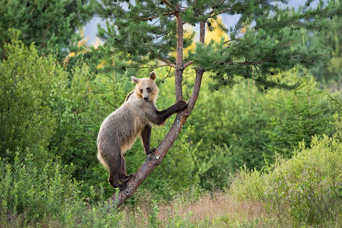 Agile brown bear female with bright fur climbing a tree in summer nature Fotografía