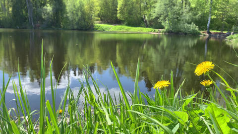Forest landscape, pond or the lake in the forest, green coast, dandelions and a Live Action