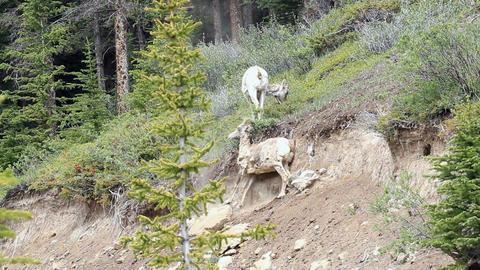Wildlife ewe sheep rubbing wool off P HD 1272 Footage