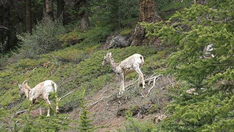 Wildlife mountain sheep ewes P HD 1270 Footage