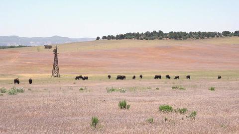 Wildlife herd of American Bison buffalo on praire windmill 4K 181 Footage