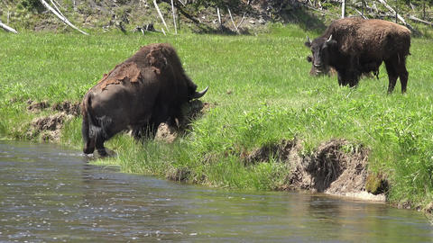 Wildlife Yellowstone Male Bull Bison in river digging in dirt 4K Footage