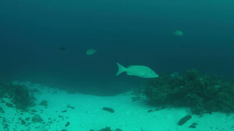 Emperor Snapper on a coral reef Live Action