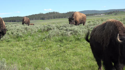 Yellowstone American Buffalo Bison camera in herd 4K Footage
