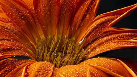 Beautiful drop of water Dew on petal Photo