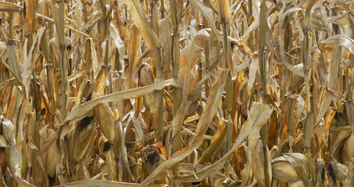 Slow pan of corn stalks in fall Archivo