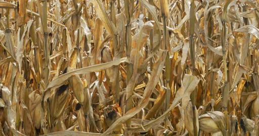 Slow pan of corn stalks in fall Footage