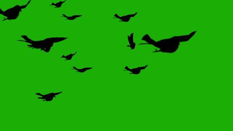 Silhouette birds on green screen Footage