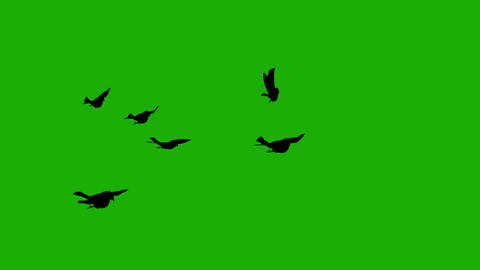 Silhouette birds on green screen Animation