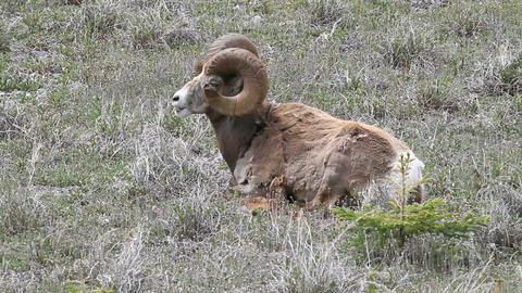 wildlife ram sheep laying P HD 1261 Footage