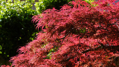 Red weeping leaves in autumn Live Action