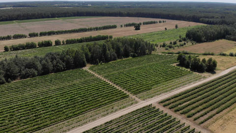 Aerial view above of grapes fields ライブ動画