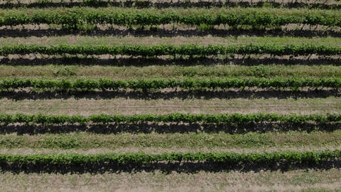 Rows of Grapes. Aerial video ライブ動画