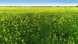 Yellow Rape Field in the Spring. Drone shot of Blooming Field, yellow Rape Live Action