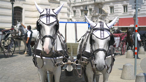 Traditional horse coach Fiaker in Vienna Austria Live Action