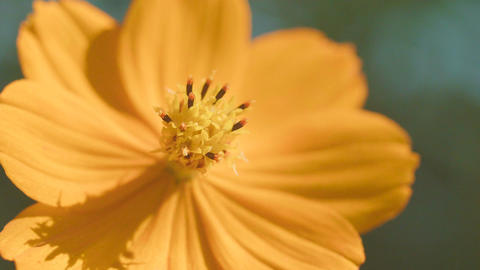 Flowers of Cosmos sulphureus,at Showa Kinen Park,Tokyo,Japan,Filmed in 4K Footage