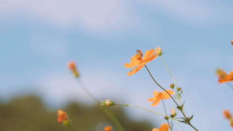 Cosmos Flowers and Honey Bee,at Showa Kinen Park,Tokyo,Japan,Filmed in 4K Footage