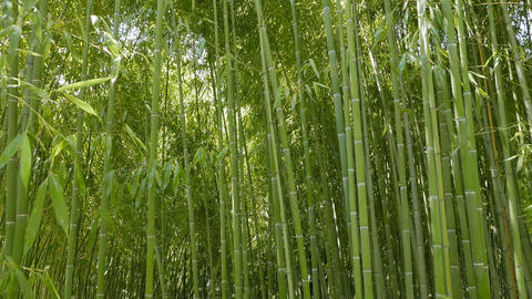 Trunks of bamboo. Arboretum Sochi, Russia Footage