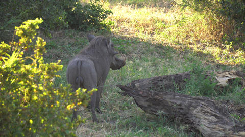 Wild Boar Eating Grass in Savanna of Tanzania National Park, Close Up Live Action